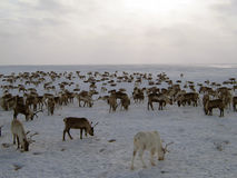 Reindeers on a yagelny pasture stock photo