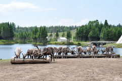 Reindeers at Zoo of St-Felicien, Quebec, Canada Royalty Free Stock Photo