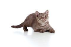Reine Brut gestreifte Briten des Kätzchens Lizenzfreies Stockfoto