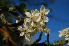 Reine Claude Plum blommor Royaltyfria Foton