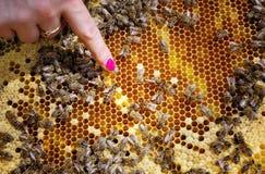Reine d'abeille dans la ruche Photos stock