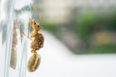Reine de fourmi de tisserand Images stock