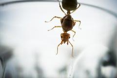 Reine de fourmi de tisserand Image stock