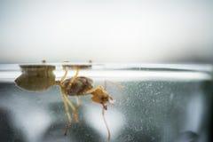 Reine de fourmi de tisserand Photographie stock libre de droits