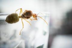 Reine de fourmi de tisserand Images libres de droits