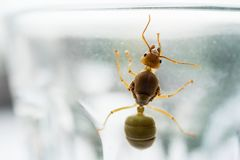 Reine de fourmi de tisserand photographie stock