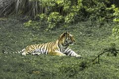 Reine de jungle Photos stock