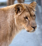 reine de jungle Image libre de droits