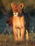 Reine de Kalahari Images libres de droits
