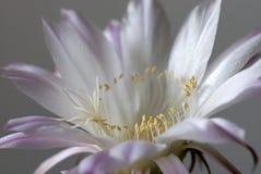 Reine de la nuit (grandiflorus de selenicereus) Photographie stock