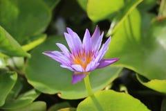 Reine de Lotus Photos libres de droits