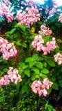 Reine de modèle de fond de fleur de Philippines photos stock