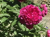 Reine de pivoine-le de fleur photo stock