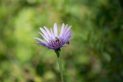 Reine de violette d'amellus d'aster Photo libre de droits