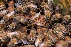 Reine des abeilles travaillant dans leur ruche Photographie stock libre de droits