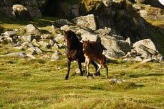 Reine gezüchtete Stute u. Fohlen Dartmoor Stockfotos