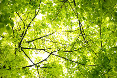 Reine Grünblätter stockfotografie