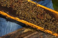 Reine marquée bleue d'abeille parmi des abeilles Photos stock