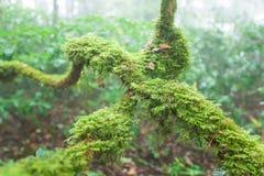 Reine Natur, frisches Moos und Flechte in der Wurzel des alten Baums, alter tropischer Wald im Nebel verwischten Hintergründe Doi lizenzfreie stockbilder