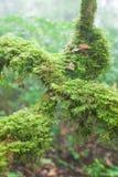 Reine Natur, frisches Moos und Flechte in der Wurzel des alten Baums, alter tropischer Wald im Nebel verwischten Hintergr?nde Doi stockbild
