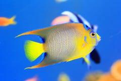 reine nommée latine de holacanthus de ciliaris d'angelfish Photo libre de droits