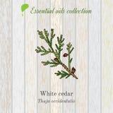Reine Sammlung des ätherischen Öls, weiße Zeder Hölzerner Beschaffenheitshintergrund lizenzfreie abbildung