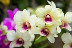 Reine thaïlandaise d'orchidées des fleurs en Thaïlande Photo stock
