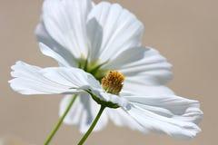 Reine weiße Kosmos-Blüten Stockfoto