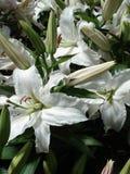 Reine weiße Tigerlilien Stockfoto