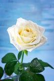 Reine Weißrose mit Wassertropfen Stockbild