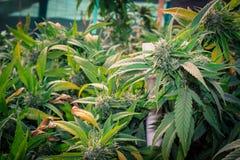 Reines Kush Outdoor California Medical Marijuana Stockbilder