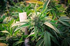 Reines Kush Outdoor California Medical Marijuana Lizenzfreie Stockfotografie