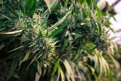 Reines Kush Outdoor California Medical Marijuana Lizenzfreies Stockbild