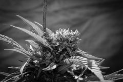 Reines Kush Outdoor California Medical Marijuana Lizenzfreie Stockbilder