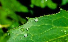 Reines Wasser auf Blatt Stockfoto