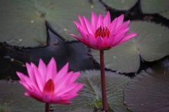 Reino de cambodia do lírio de água da flor de Camboja da maravilha Fotos de Stock Royalty Free