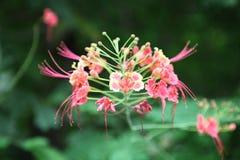 Reino de cambodia do lírio de água da flor de Camboja da maravilha Imagem de Stock