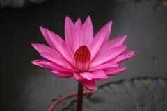 Reino de cambodia do lírio de água da flor de Camboja da maravilha Imagens de Stock