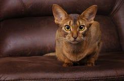 Reinrassige abyssinische Katze, die auf brauner Couch liegt Stockfoto