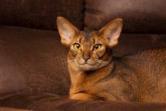 Reinrassige abyssinische Katze, die auf brauner Couch liegt Stockbild