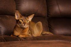 Reinrassige abyssinische Katze, die auf brauner Couch liegt Stockfotografie