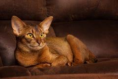 Reinrassige abyssinische Katze, die auf brauner Couch liegt Lizenzfreies Stockbild