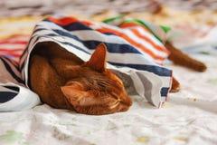 Reinrassige abyssinische Katze, die auf Couch liegt Stockbild