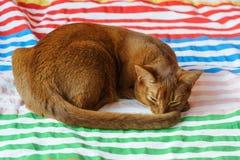 Reinrassige abyssinische Katze, die auf Couch liegt Lizenzfreie Stockfotografie