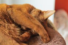 Reinrassige abyssinische Katze, die auf dem Verkratzen des Beitrags liegt Lizenzfreie Stockbilder