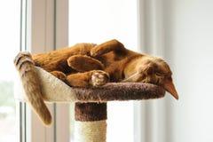 Reinrassige abyssinische Katze, die auf dem Verkratzen des Beitrags liegt Lizenzfreie Stockfotos