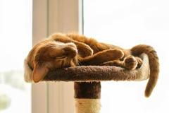 Reinrassige abyssinische Katze, die auf dem Verkratzen des Beitrags liegt Stockfotos