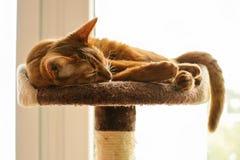 Reinrassige abyssinische Katze, die auf dem Verkratzen des Beitrags liegt Lizenzfreies Stockbild