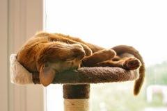 Reinrassige abyssinische Katze, die auf dem Verkratzen des Beitrags liegt Lizenzfreie Stockfotografie
