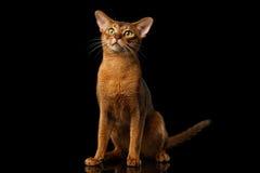 Reinrassige abyssinische Katze lokalisiert auf schwarzem Hintergrund Stockfotografie
